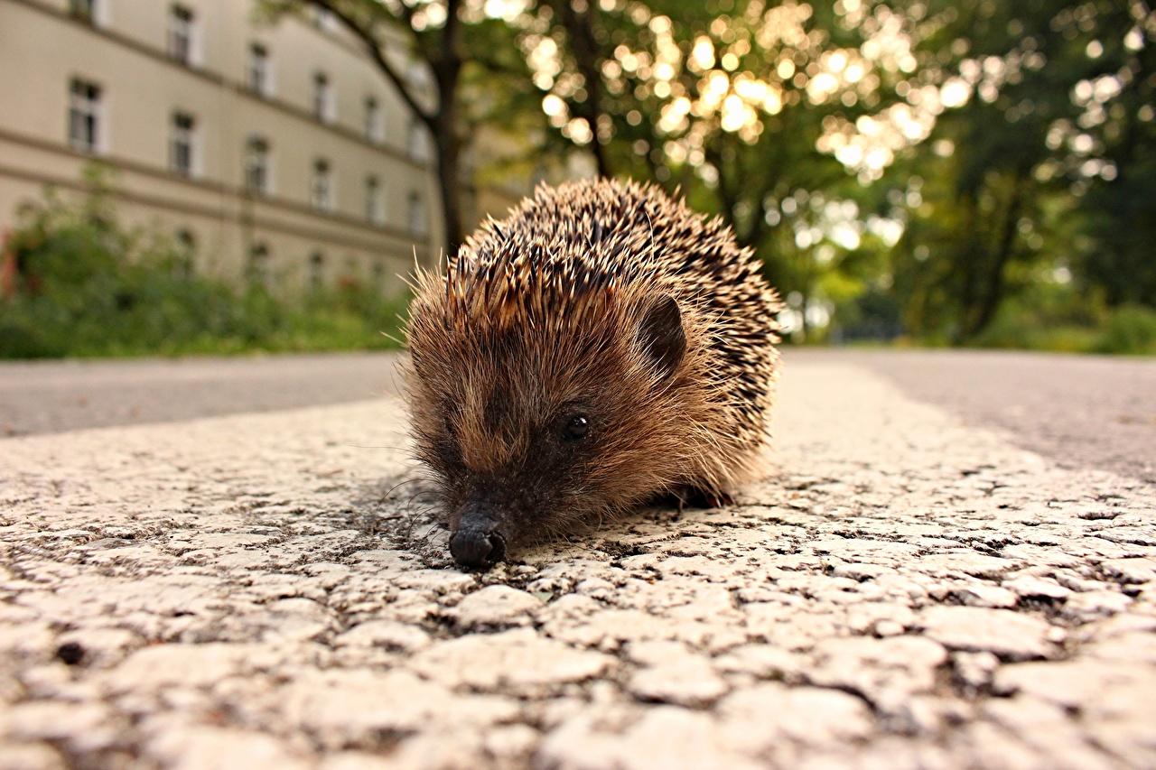 Фото Ежики Животные Ежи