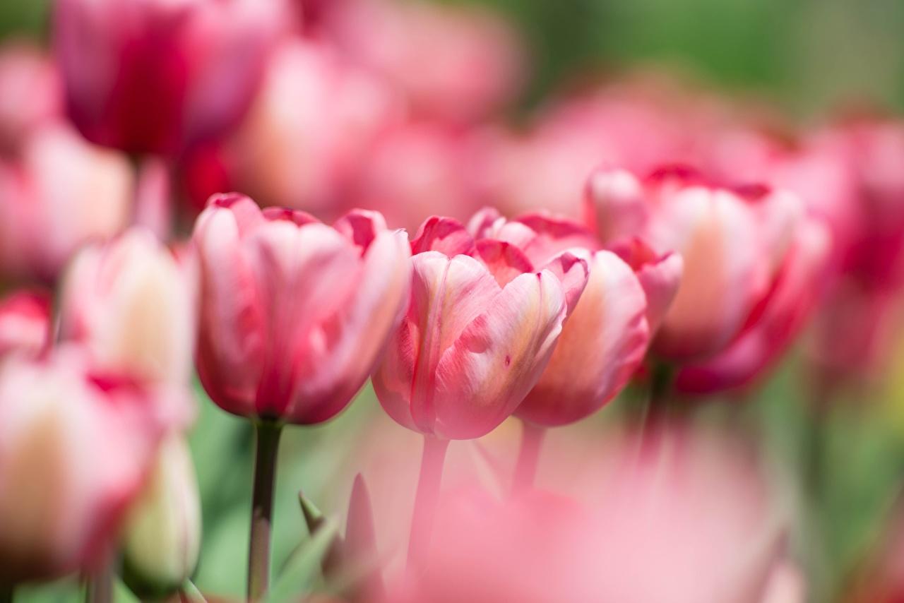 Обои для рабочего стола Размытый фон Розовый Тюльпаны Цветы боке тюльпан розовая розовые розовых цветок