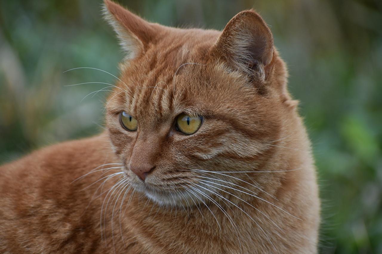 Обои для рабочего стола Кошки Рыжий Усы Вибриссы Морда вблизи смотрят животное кот коты кошка рыжие рыжая морды Взгляд смотрит Животные Крупным планом