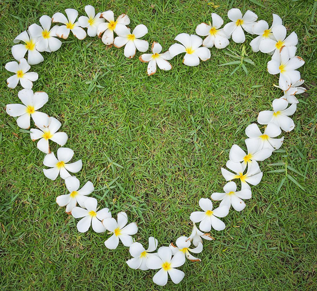 Фото День всех влюблённых сердечко Белый Цветы Плюмерия Трава Дизайн День святого Валентина Сердце