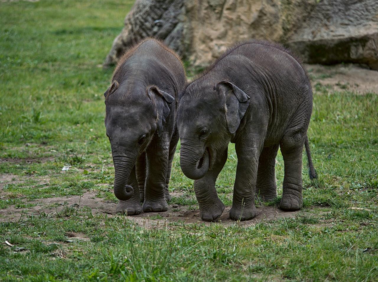 Картинка Слоны Детеныши 2 Трава Животные слон два две Двое вдвоем траве животное