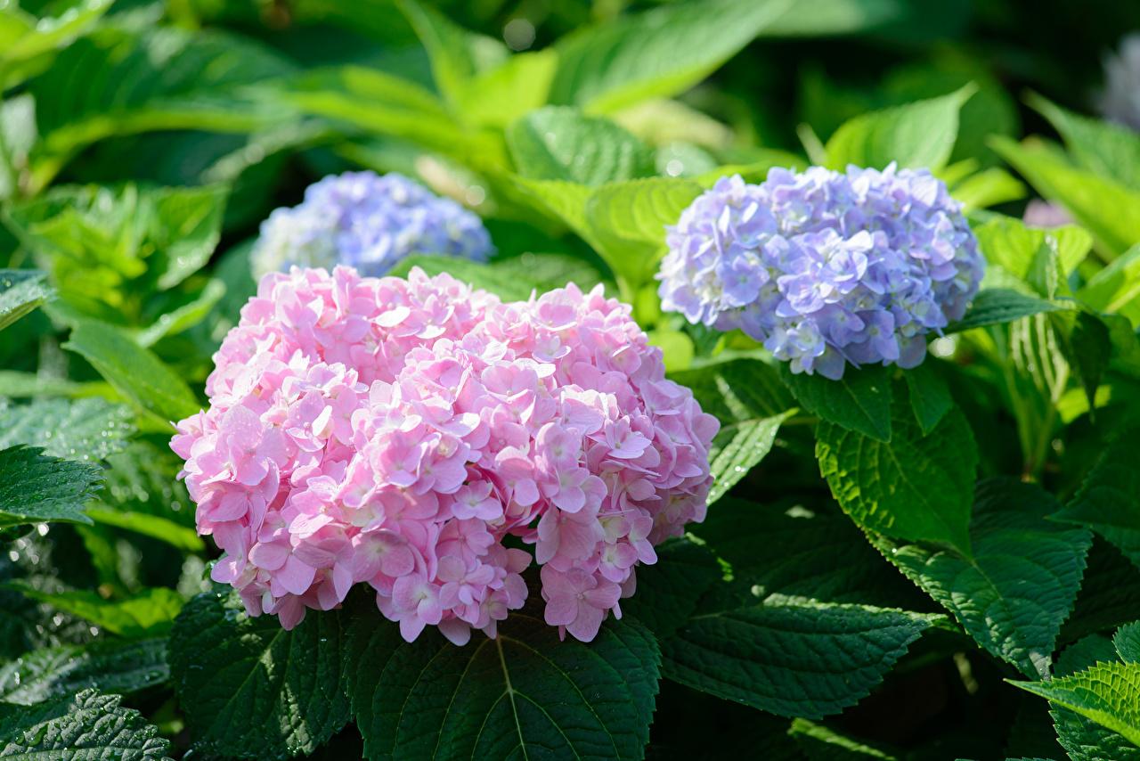 Фото розовых фиолетовые цветок Гортензия розовая розовые Розовый фиолетовая Фиолетовый фиолетовых Цветы