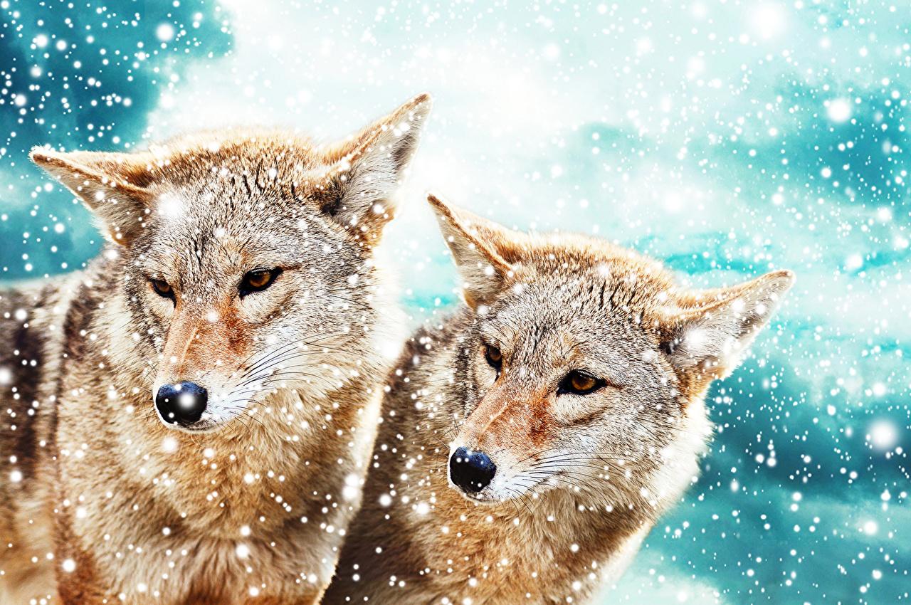Фото волк Двое снежинка Животные Волки 2 два две вдвоем Снежинки животное