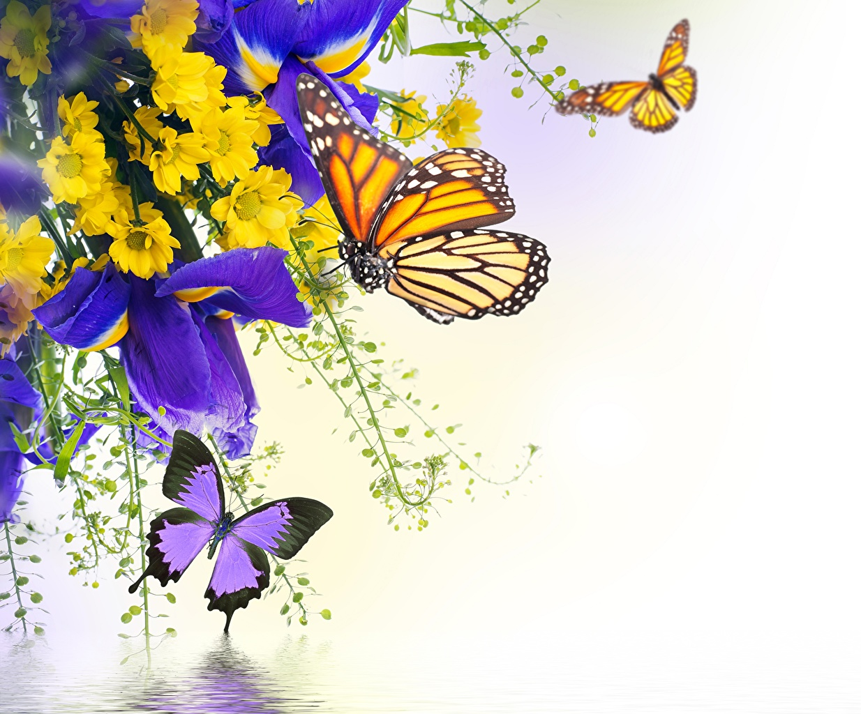 Картинки Данаида монарх бабочка Насекомые ирис Цветы Хризантемы животное Крупным планом Бабочки насекомое Ирисы цветок вблизи Животные