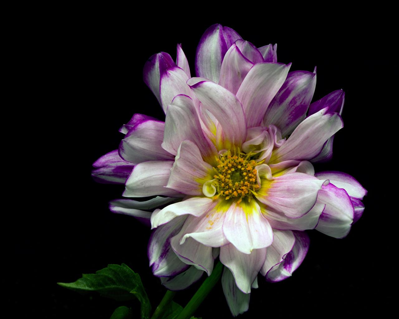 Картинки Цветы Георгины на черном фоне Крупным планом цветок вблизи Черный фон
