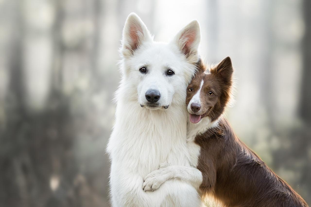 Фотография овчарки Бордер-колли Собаки Berger Blanc Suisse два Животные Овчарка собака 2 две Двое вдвоем животное
