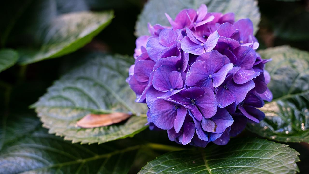 Фото фиолетовых Цветы Гортензия Фиолетовый фиолетовые фиолетовая цветок