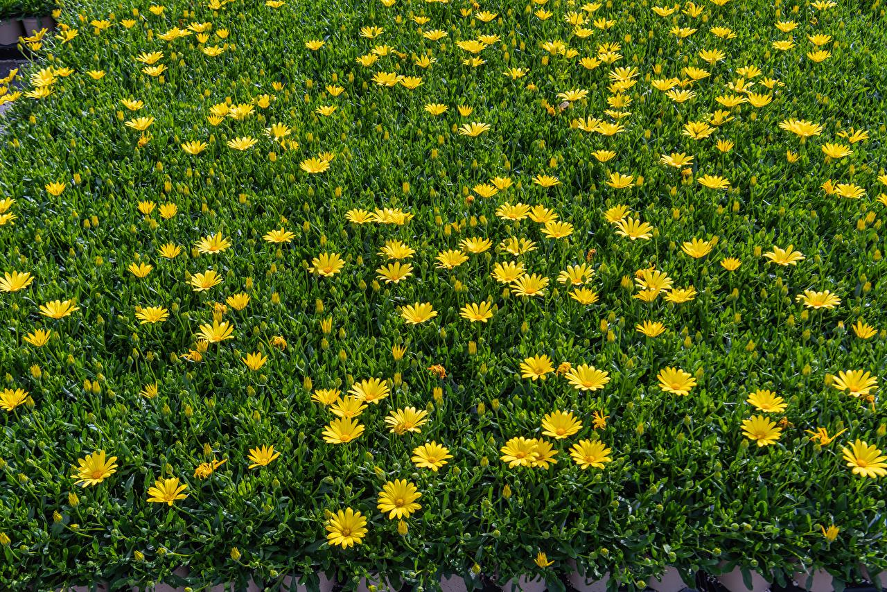 Фотография желтая цветок Маргаритка Много Желтый желтые желтых Цветы