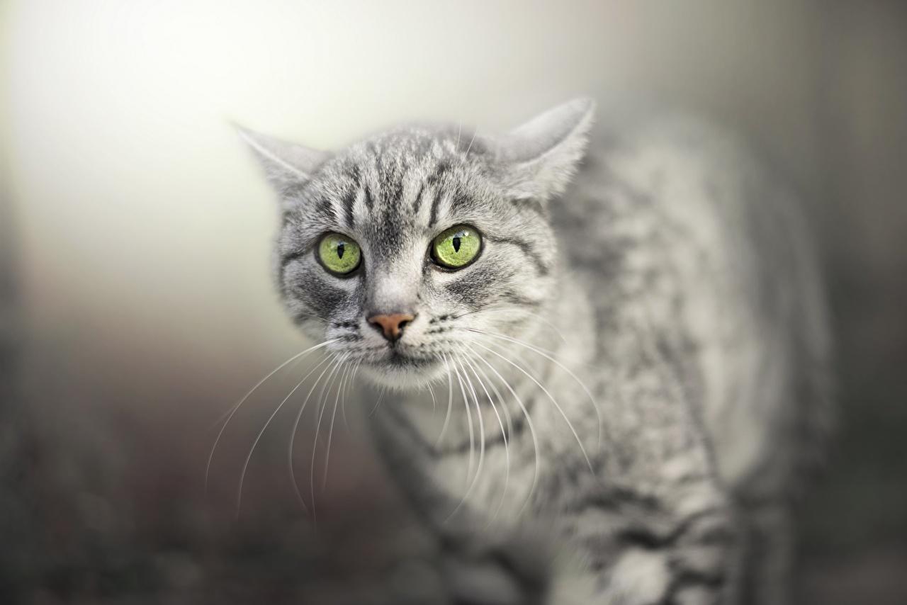 Картинки коты Усы Вибриссы Морда смотрят Животные кот кошка Кошки морды Взгляд смотрит животное