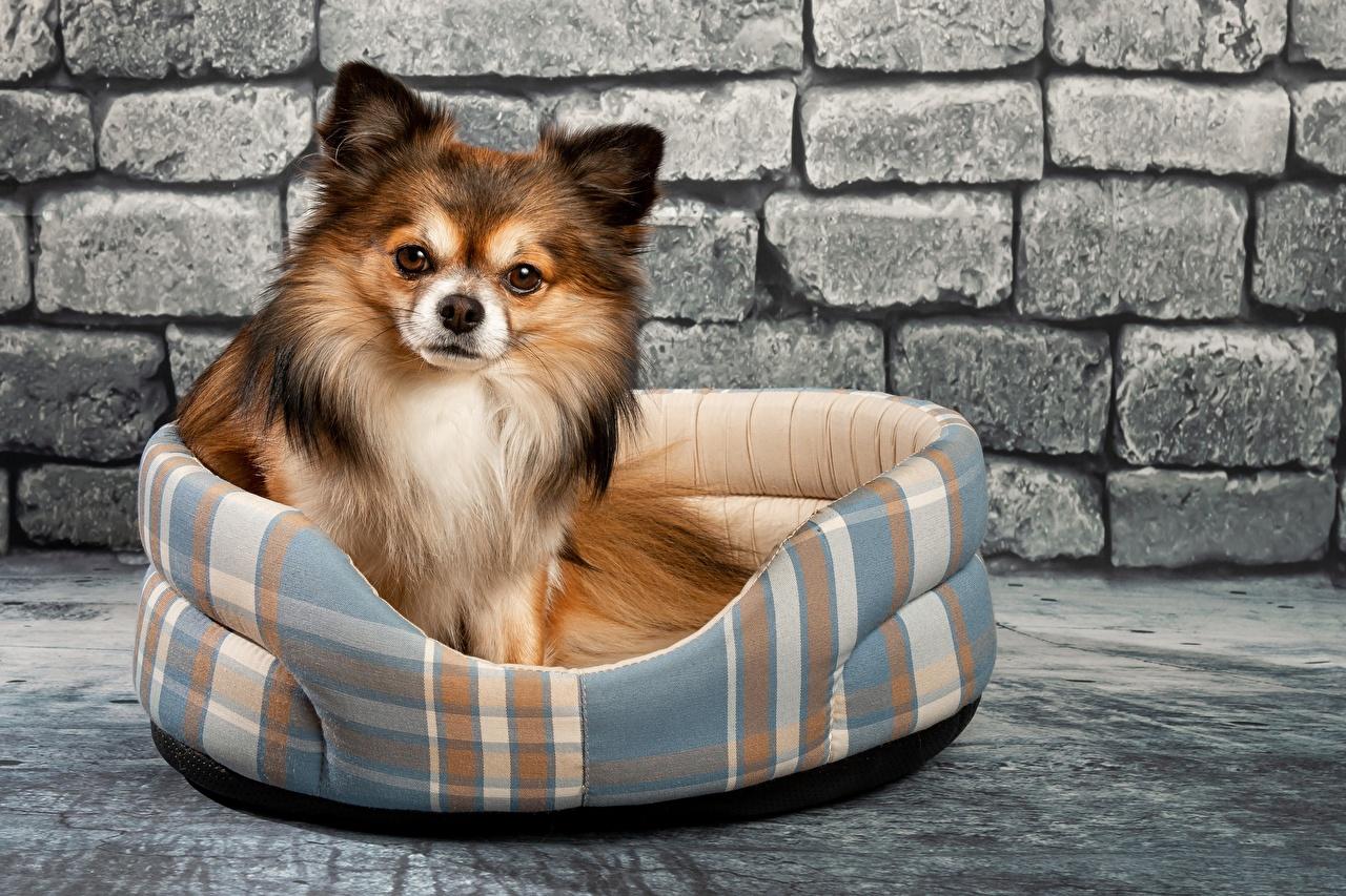 Фотографии Чихуахуа Собаки Кирпичный стене Взгляд Животные собака из кирпича Стена стены стенка смотрит смотрят животное