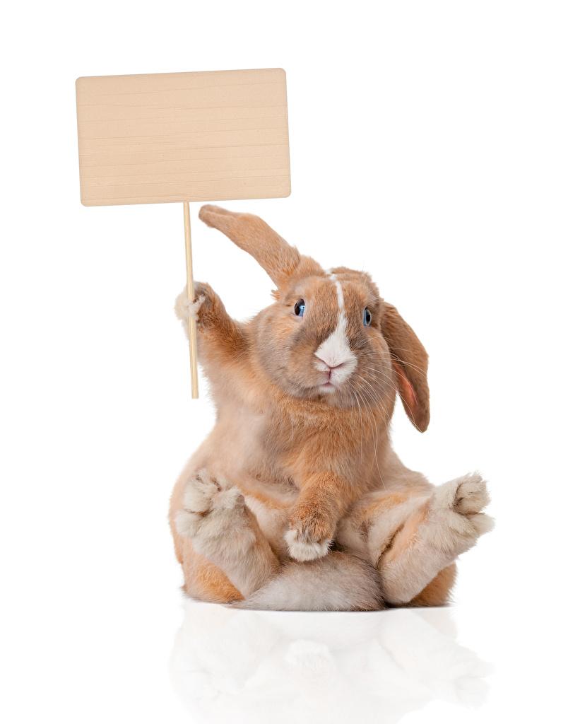 Картинки Кролики Смешные Сидит Шаблон поздравительной открытки Животные белом фоне смешной смешная забавные сидя сидящие животное Белый фон белым фоном