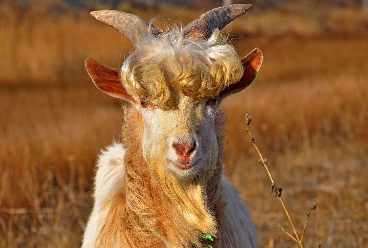 Обои Коза козел Взгляд Животные скачать фото: http://www.1zoom.ru/Животные/обои/283765/z543.1/