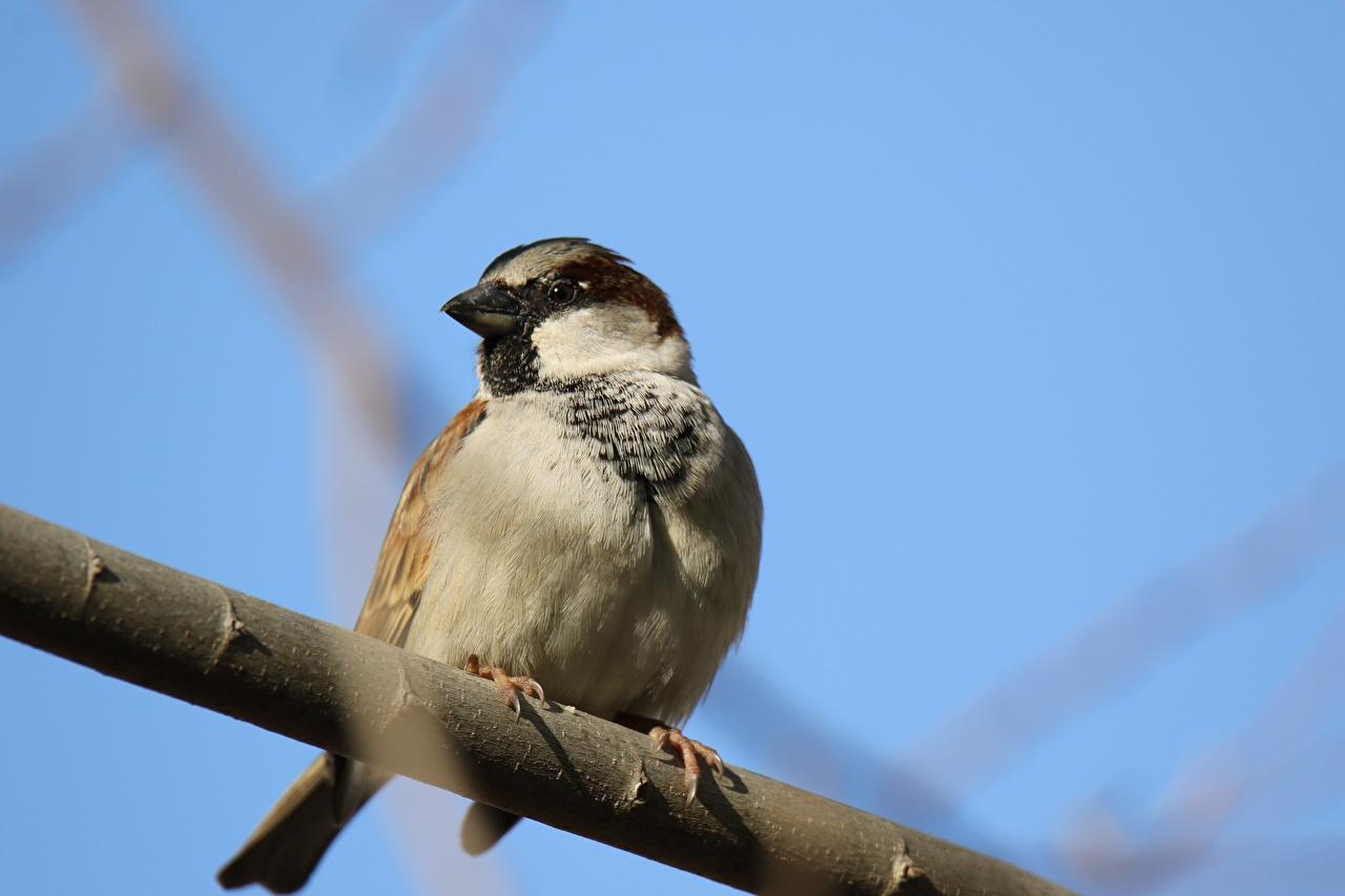 Картинки Птицы Воробей Ветки Животные птица ветвь ветка на ветке животное