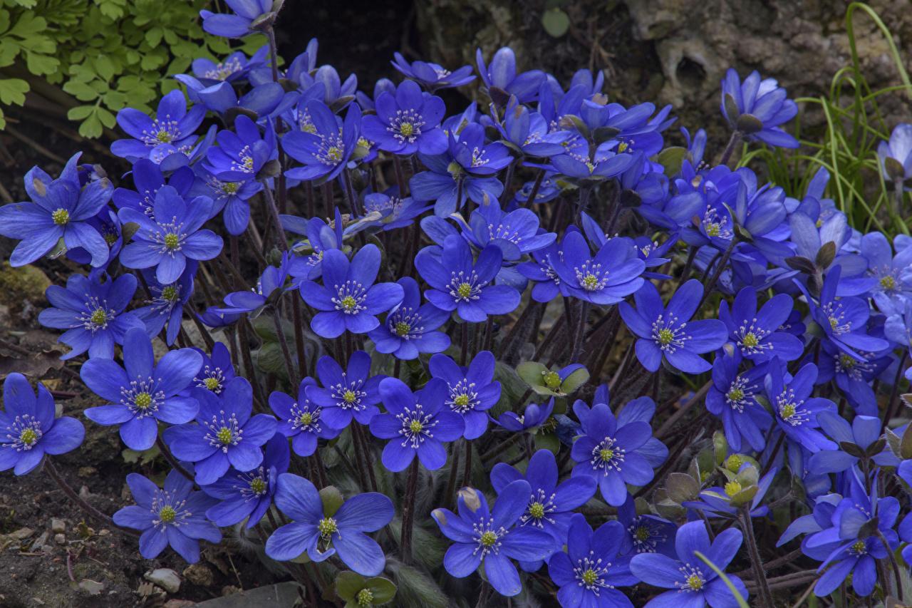 Фотографии Hepatica Синий Цветы Крупным планом вблизи