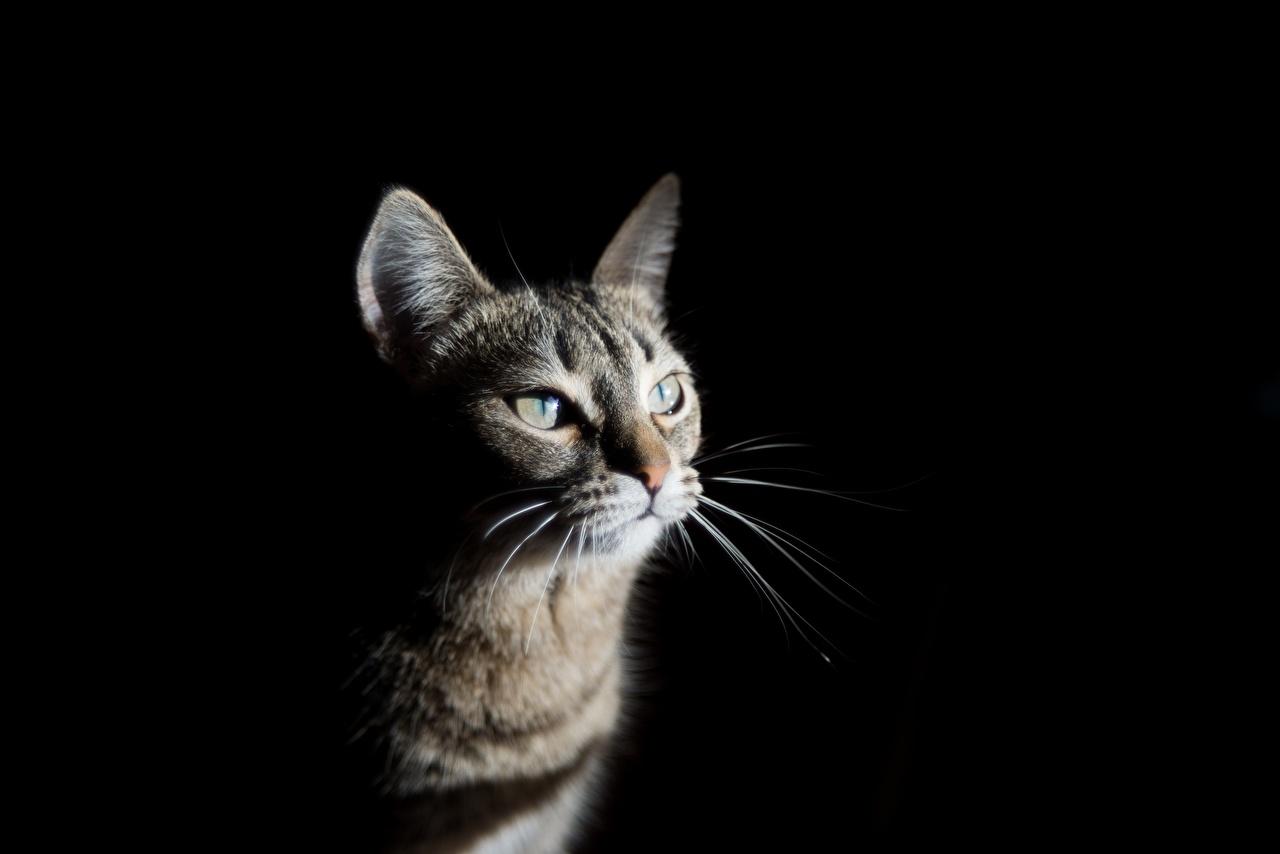 Фото Кошки Усы Вибриссы смотрит Животные Черный фон кот коты кошка Взгляд смотрят животное на черном фоне