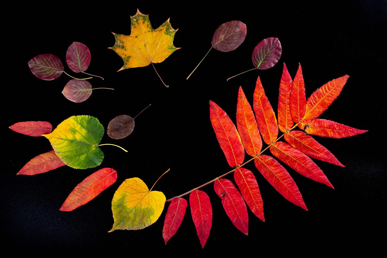 Фотографии лист Осень Природа Черный фон Листва Листья осенние на черном фоне