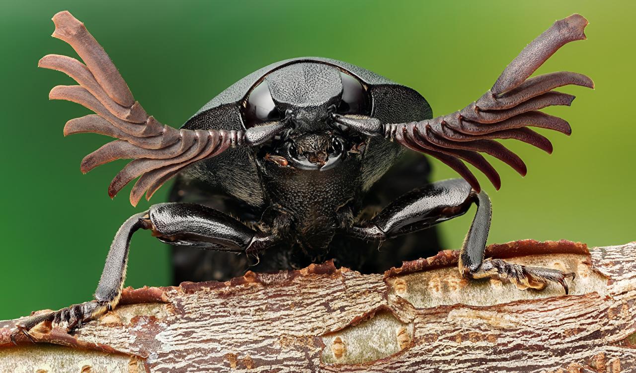 Фото Жуки Насекомые click beetle вблизи животное насекомое Животные Крупным планом