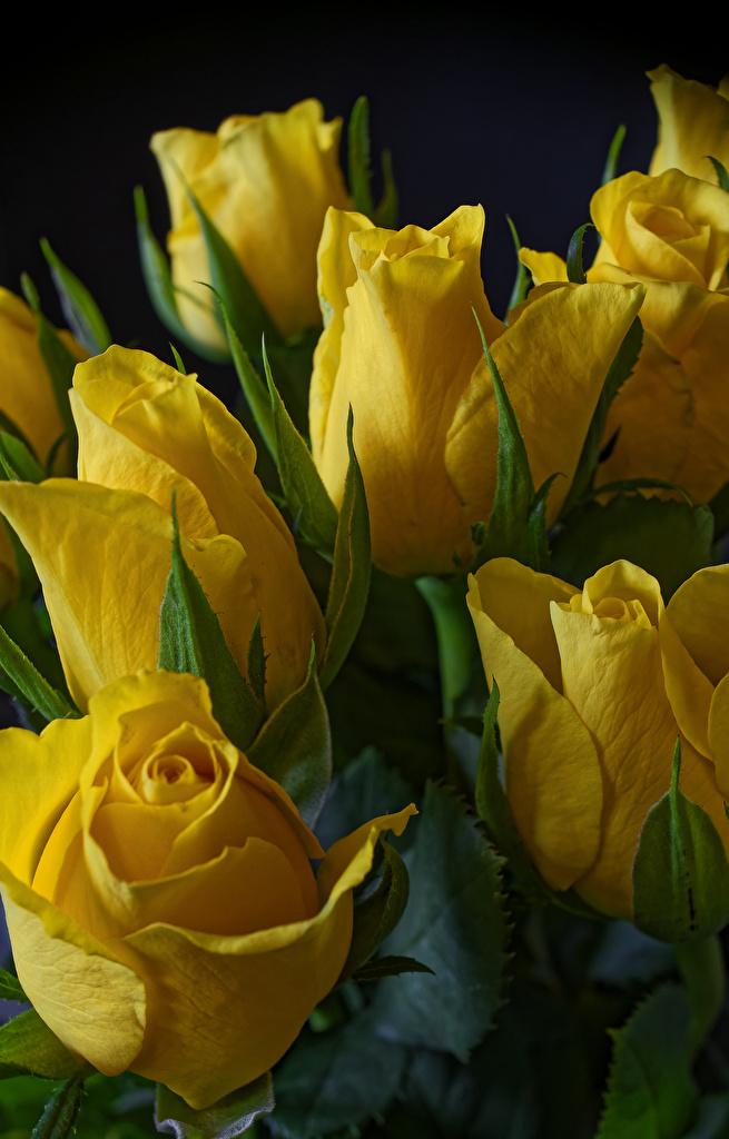 Фото желтые Тюльпаны цветок вблизи на черном фоне  для мобильного телефона желтых Желтый желтая тюльпан Цветы Черный фон Крупным планом