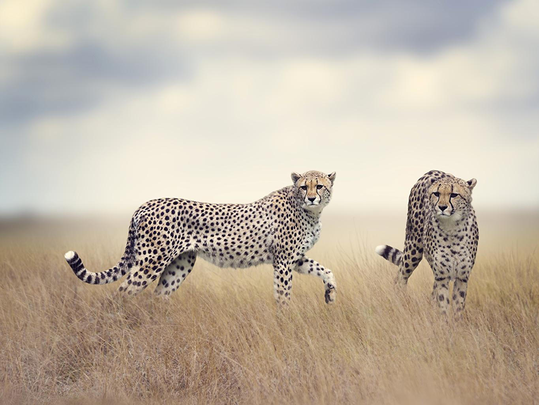 Картинка гепард Большие кошки два животное Гепарды 2 две Двое вдвоем Животные