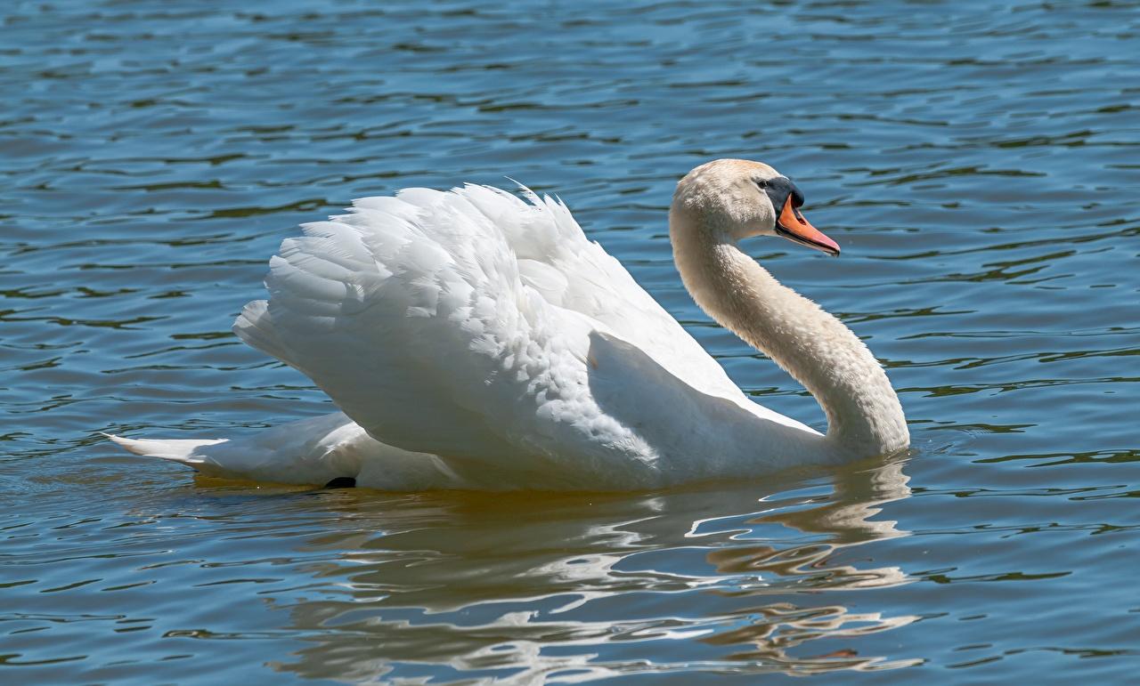 Фотографии Птицы лебедь белые Вода Животные птица Лебеди белая Белый белых воде животное