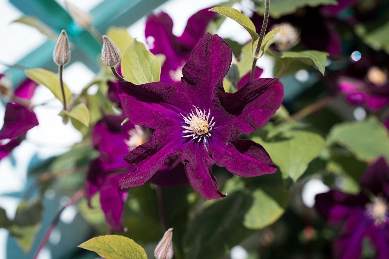 Обои для рабочего стола фиолетовых цветок Ломонос Бутон вблизи Фиолетовый фиолетовые фиолетовая Цветы Клематис Крупным планом