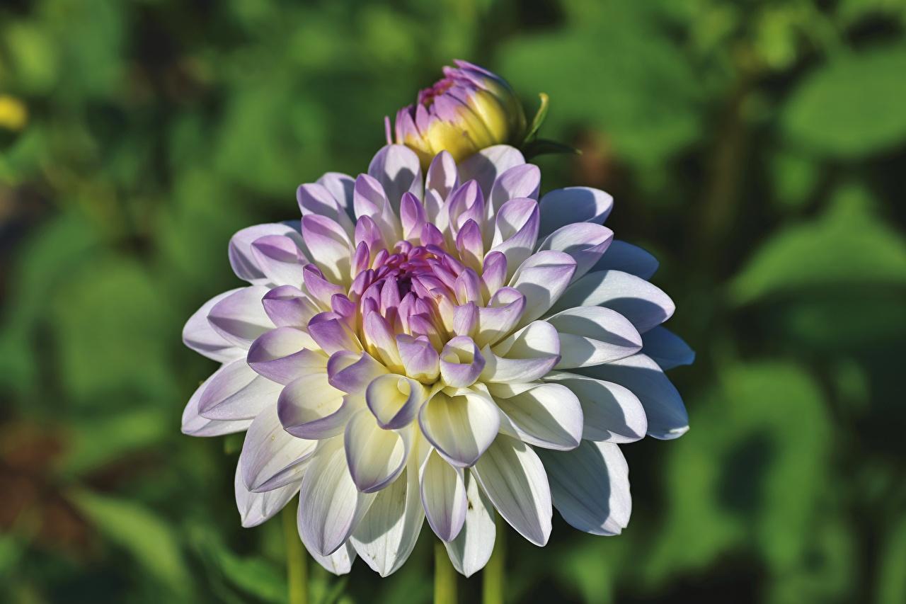 Картинки боке Цветы Георгины вблизи Размытый фон цветок Крупным планом