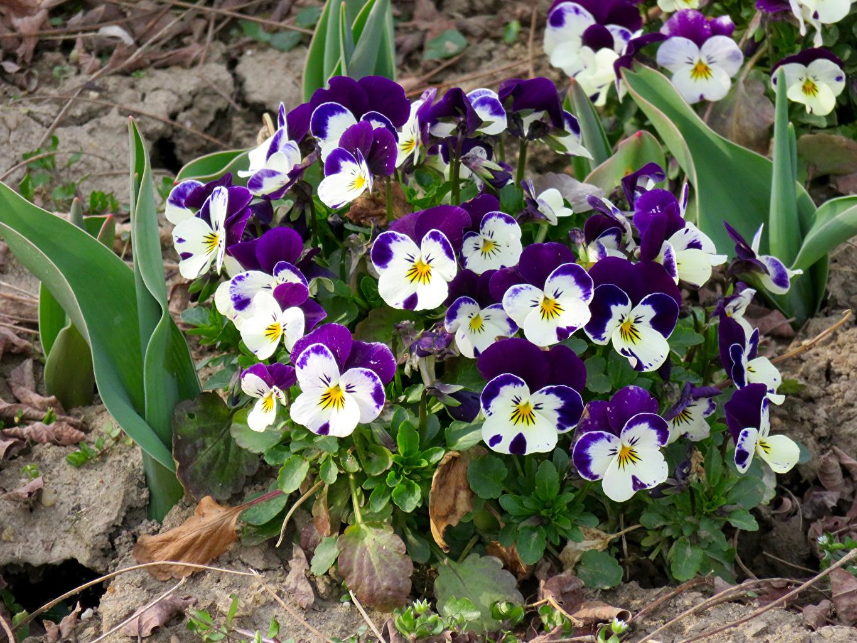 Фотографии Анютины глазки Цветы вблизи Фиалка трёхцветная цветок Крупным планом