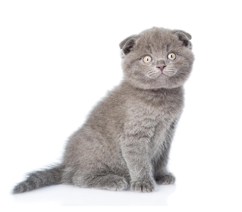 Картинка котят Скоттиш-фолд кот серые Животные белом фоне Котята котенок котенка Шотландская вислоухая коты кошка Кошки серая Серый животное Белый фон белым фоном