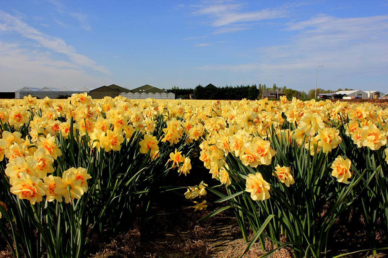 Фото Нидерланды Hillegom Поля Цветы Нарциссы Много голландия цветок