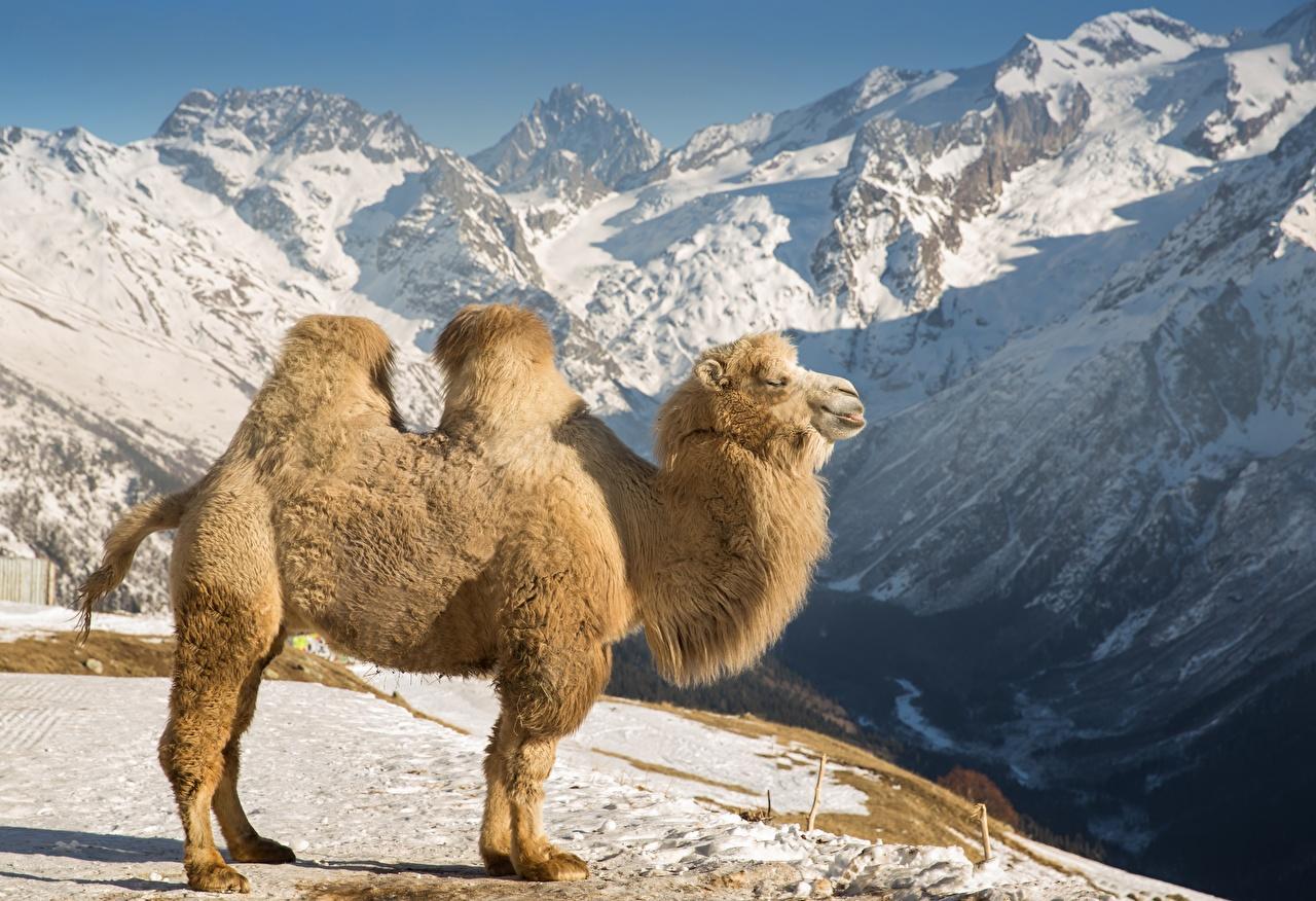 Обои для рабочего стола Верблюды гора Снег Сбоку Животные верблюд Горы снега снегу снеге животное