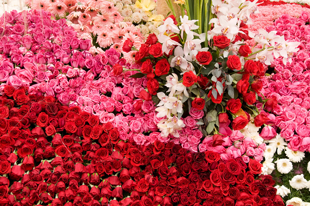 Картинки Розы орхидея Цветы роза Орхидеи цветок