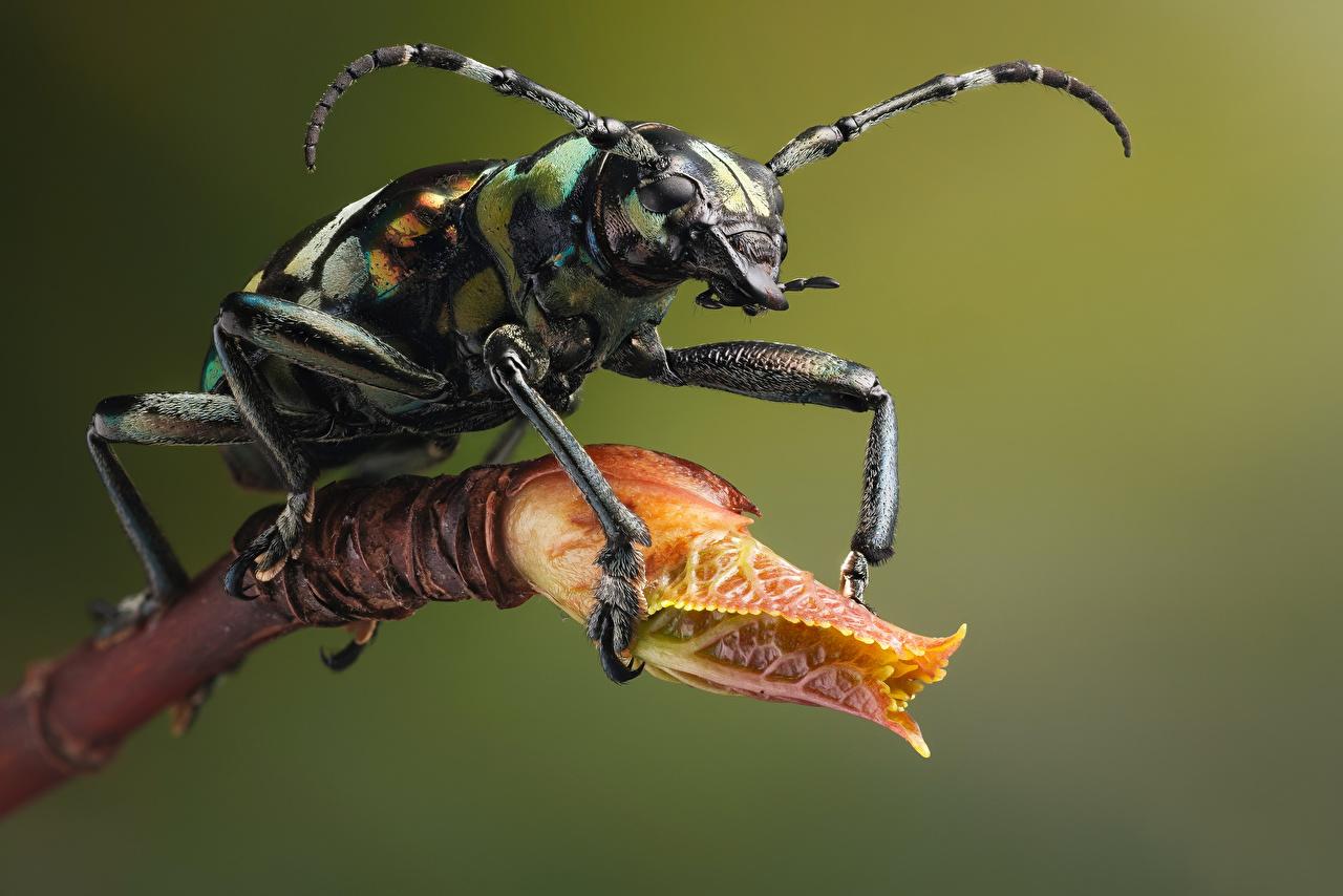Картинка Жуки насекомое acronia животное Крупным планом Насекомые вблизи Животные
