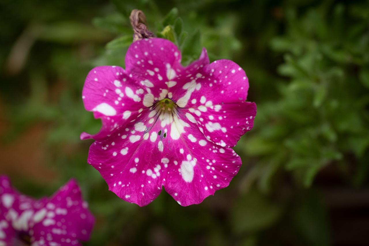 Картинки Размытый фон Розовый цветок Петунья Крупным планом боке розовых розовые розовая Цветы петуния вблизи