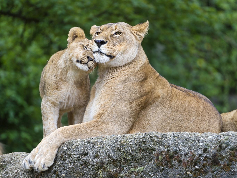 Фотографии лев Большие кошки Детеныши Двое Камень животное Львы 2 два две вдвоем Камни Животные