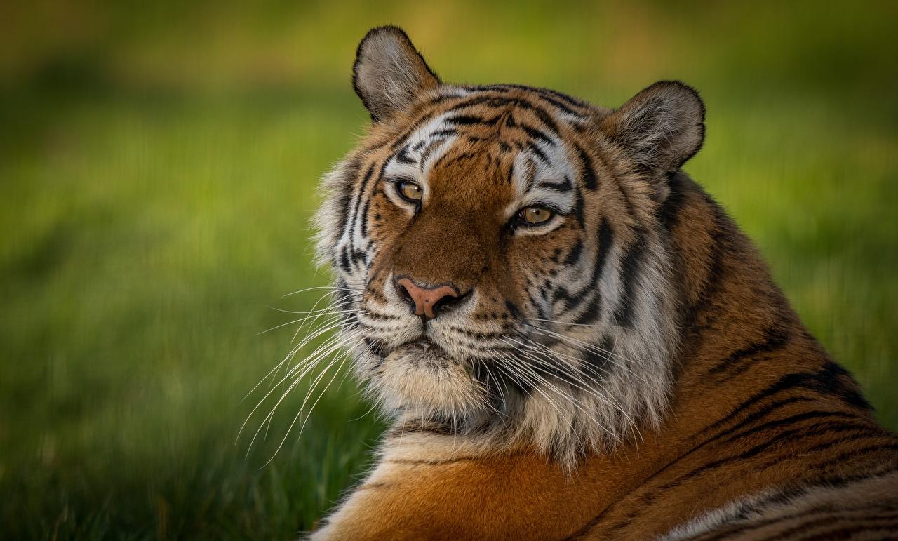 Фотография тигр морды смотрят животное Тигры Морда Взгляд смотрит Животные