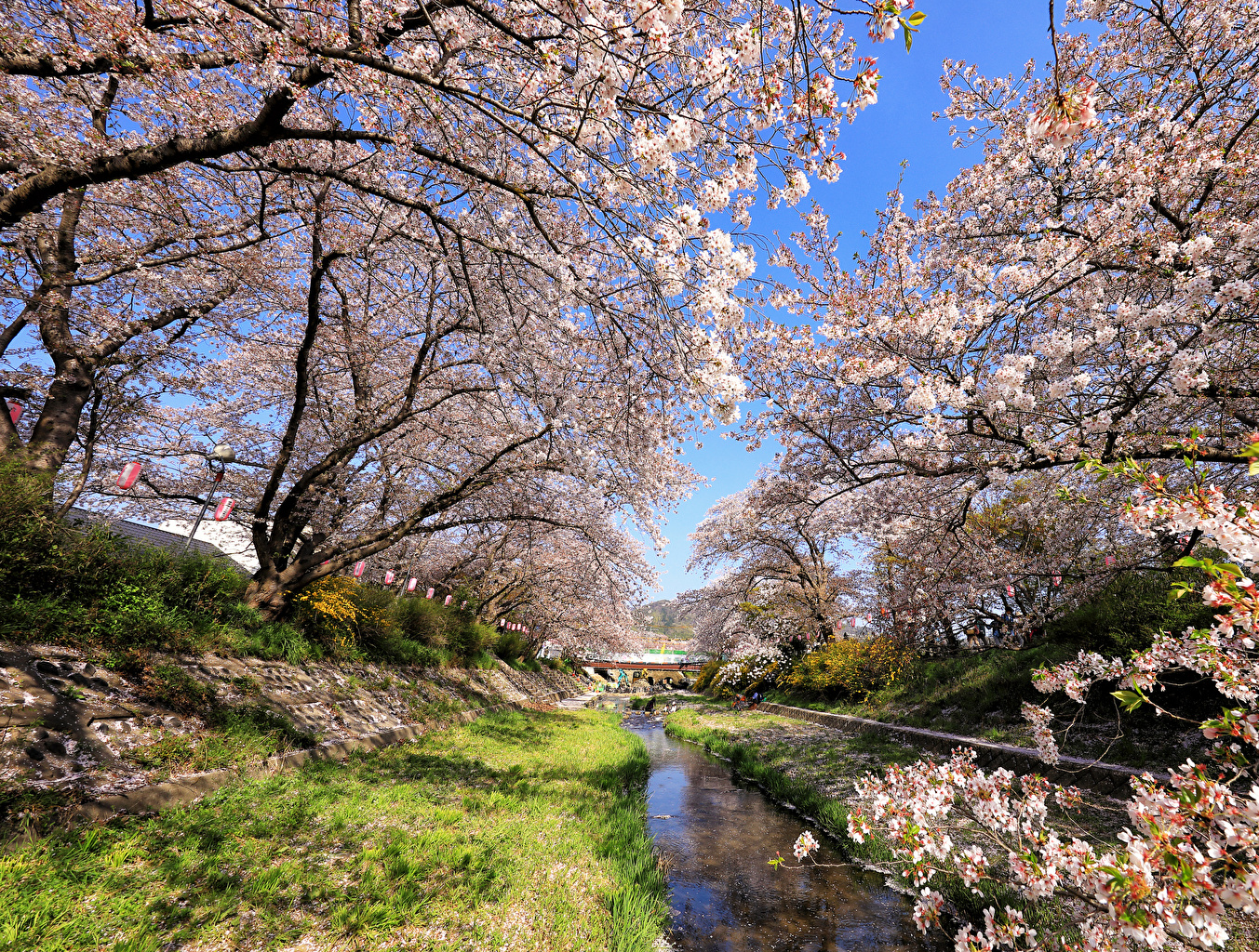 Обои для рабочего стола Токио Япония Весна Природа Парки Цветущие деревья весенние парк