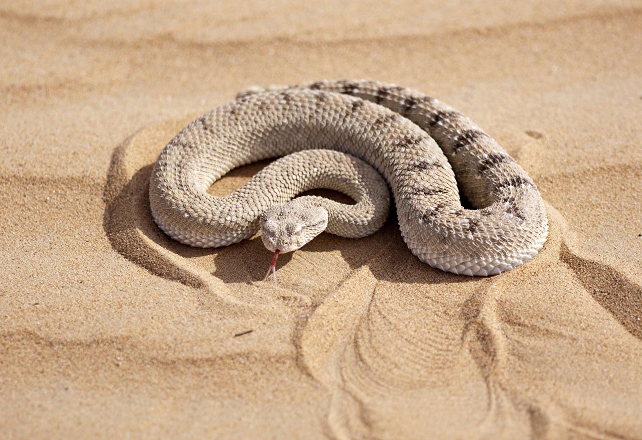 Фотография Змеи Песок Животные песке песка животное