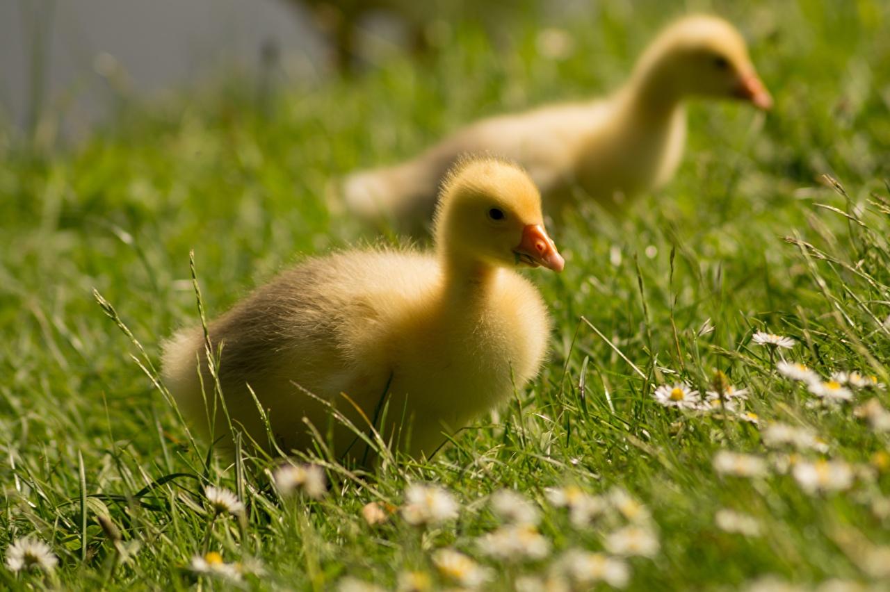 Обои для рабочего стола гусь птенец Размытый фон Трава Животные Гуси Птенцы боке траве животное
