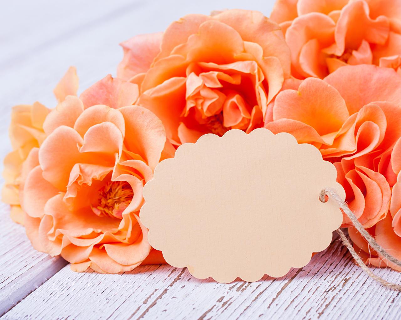 Фотография Розы оранжевые цветок Шаблон поздравительной открытки вблизи роза оранжевая Оранжевый оранжевых Цветы Крупным планом