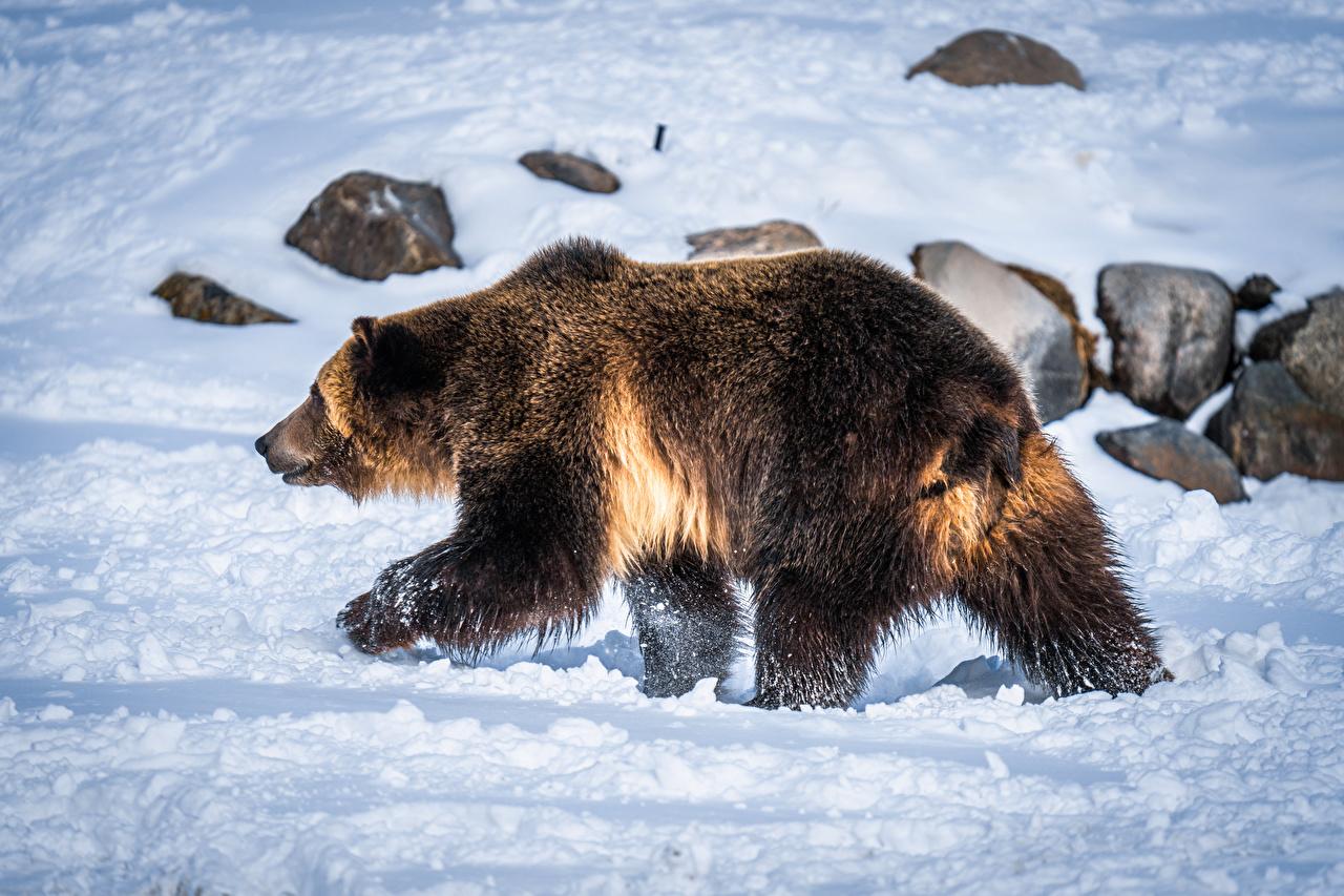 Фото Гризли Медведи Снег Животные Бурые Медведи медведь снега снегу снеге животное
