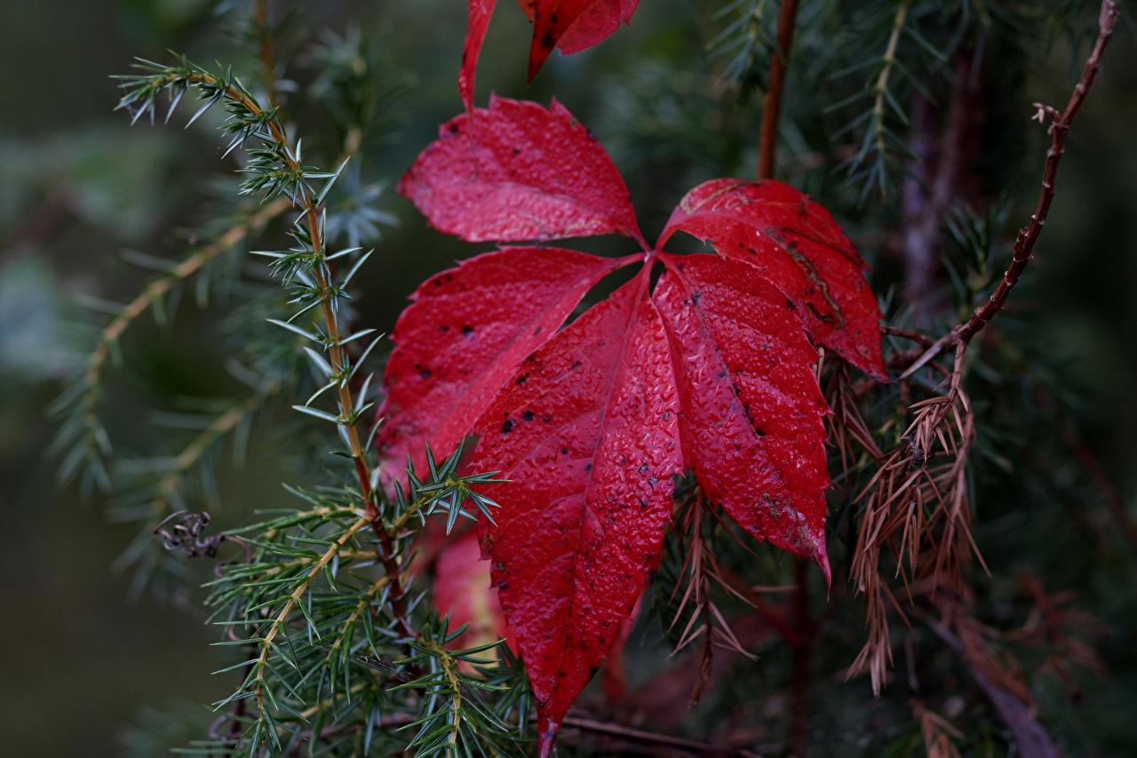 Картинка Листва Природа Красный вблизи лист Листья красных красные красная Крупным планом
