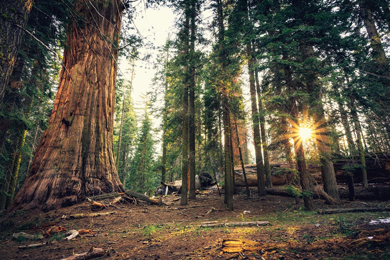 Фотография Лучи света калифорнии штаты Sequoia National Park Природа Леса Парки деревьев Калифорния США дерево дерева Деревья