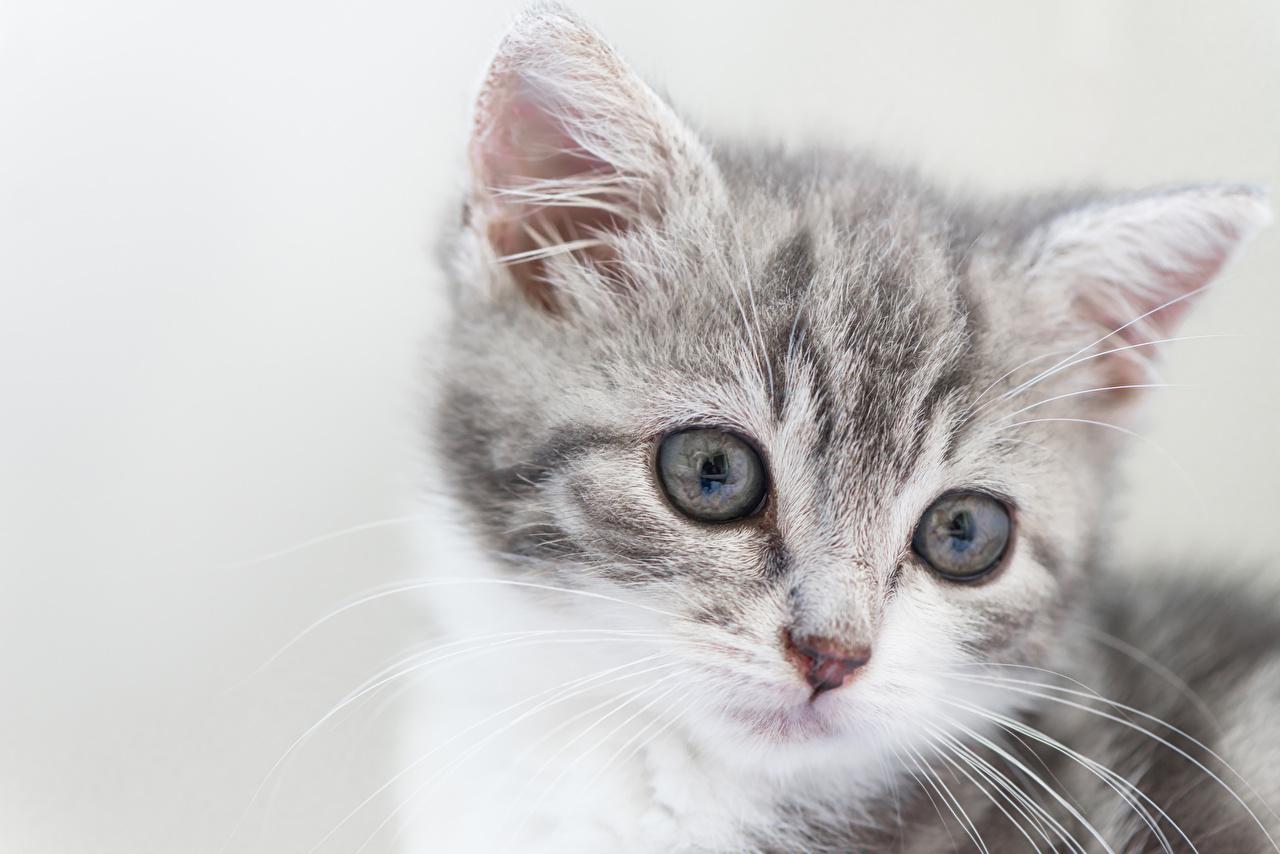Картинка котят кот морды Голова смотрят Животные Серый фон Котята котенок котенка коты кошка Кошки Морда Взгляд головы смотрит животное сером фоне