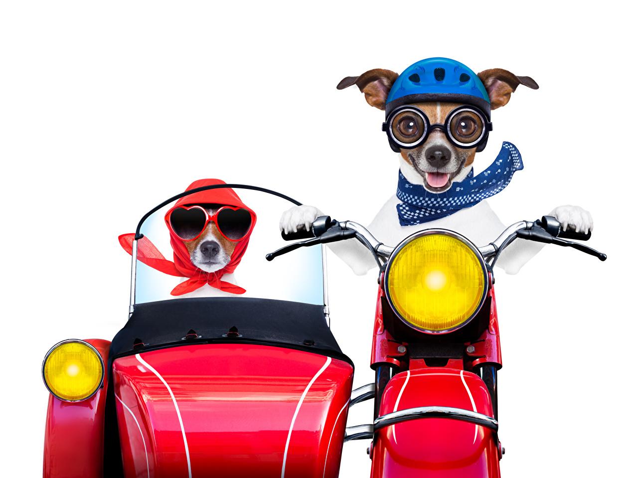 Обои для рабочего стола Джек-рассел-терьер Собаки смешная Двое мотоцикл Мотоциклист очках Животные белым фоном собака смешной Смешные забавные 2 два две вдвоем Мотоциклы Очки очков животное Белый фон белом фоне