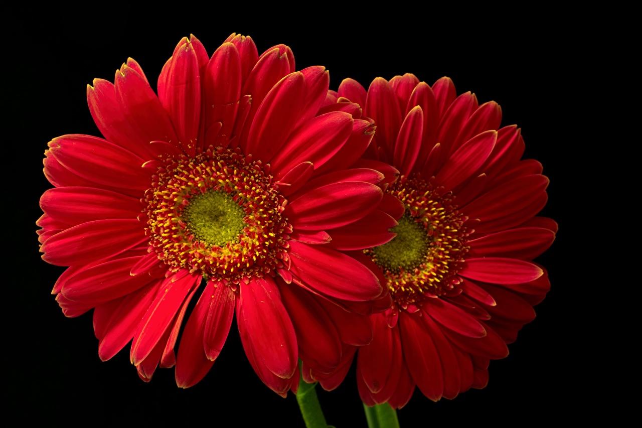 Обои для рабочего стола Двое красные гербера Цветы вблизи Черный фон 2 два две вдвоем красных красная Красный Герберы цветок на черном фоне Крупным планом