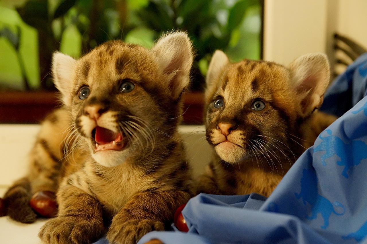 Картинки Пумы Большие кошки Детеныши два Животные пума 2 две Двое вдвоем животное