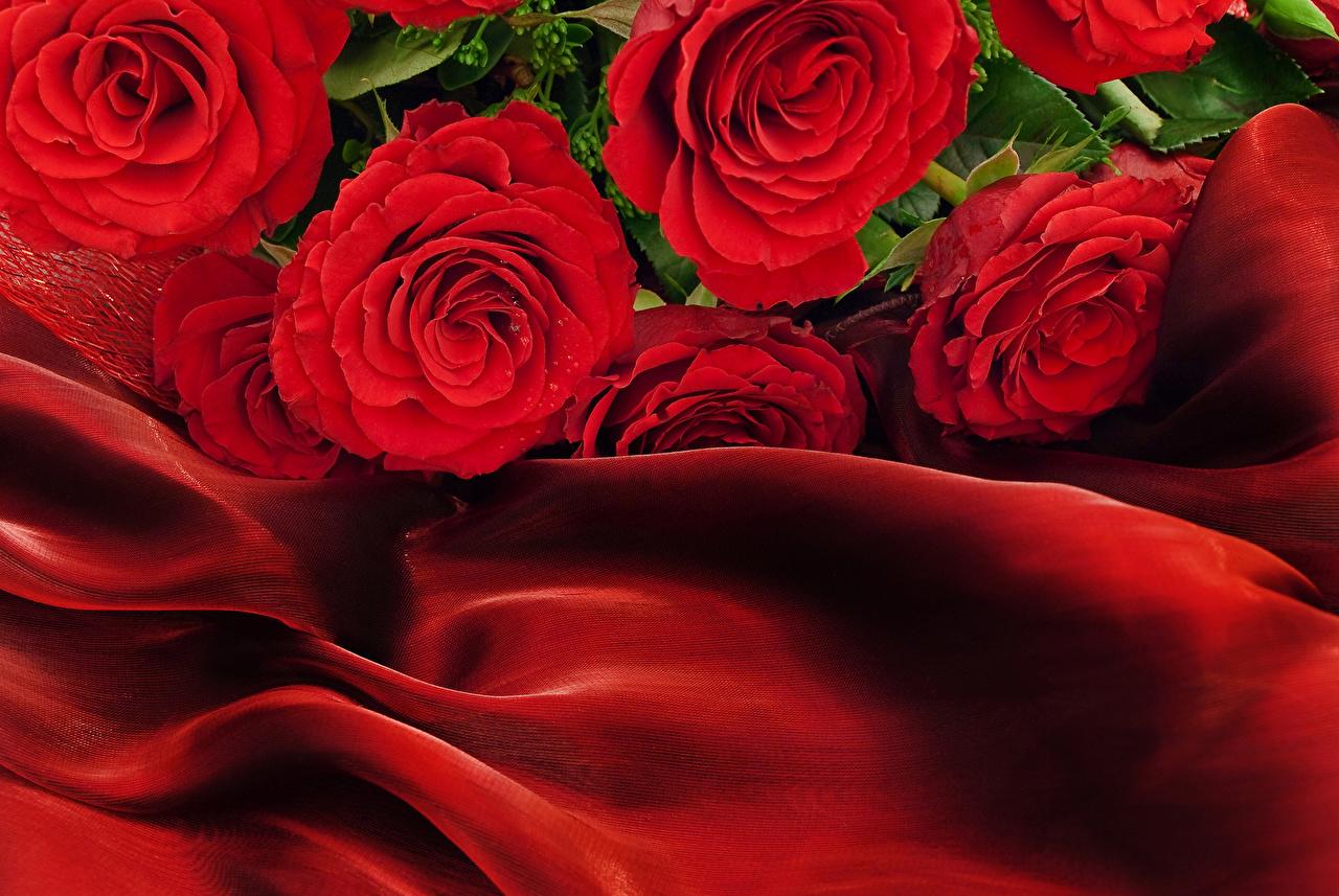 Фото Розы Красный Цветы Крупным планом вблизи