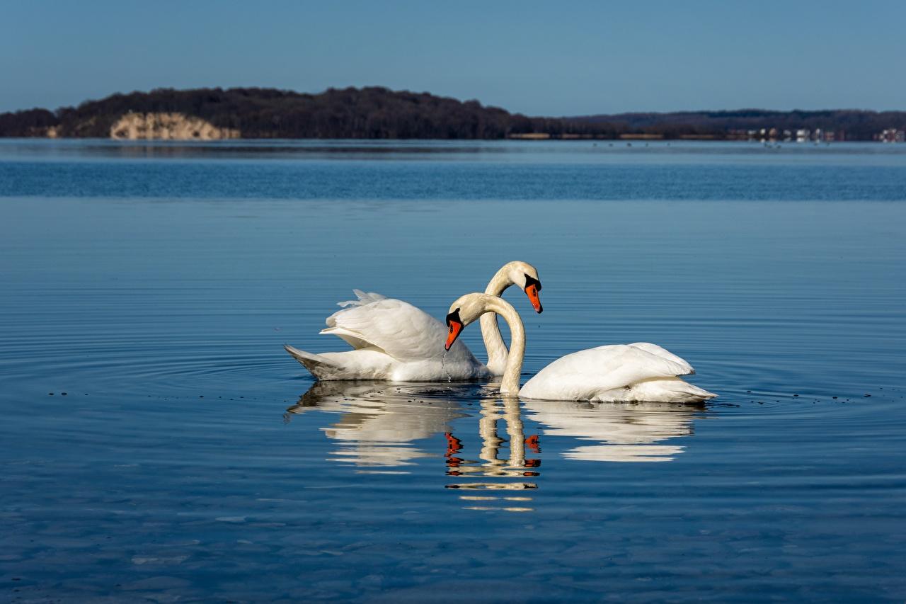 Фото птица лебедь Двое белых животное Птицы Лебеди 2 два две белая белые Белый вдвоем Животные