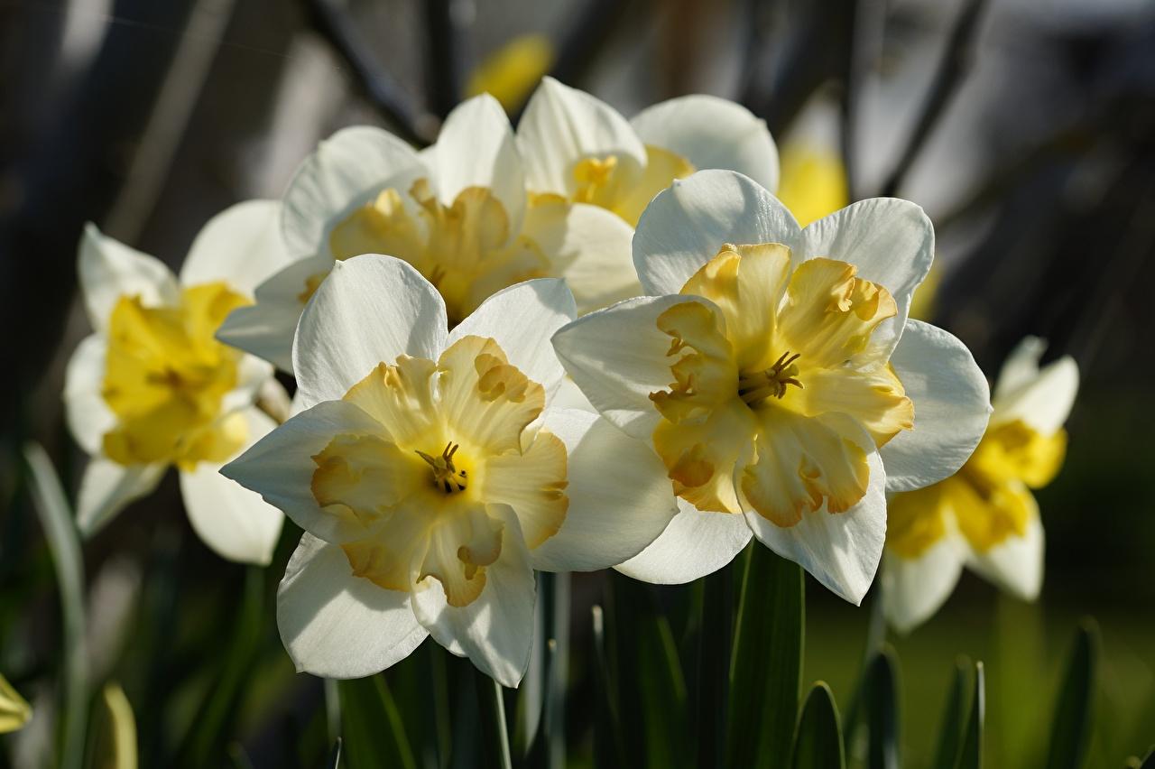 Фотография белые цветок Нарциссы Крупным планом белая Белый белых Цветы вблизи