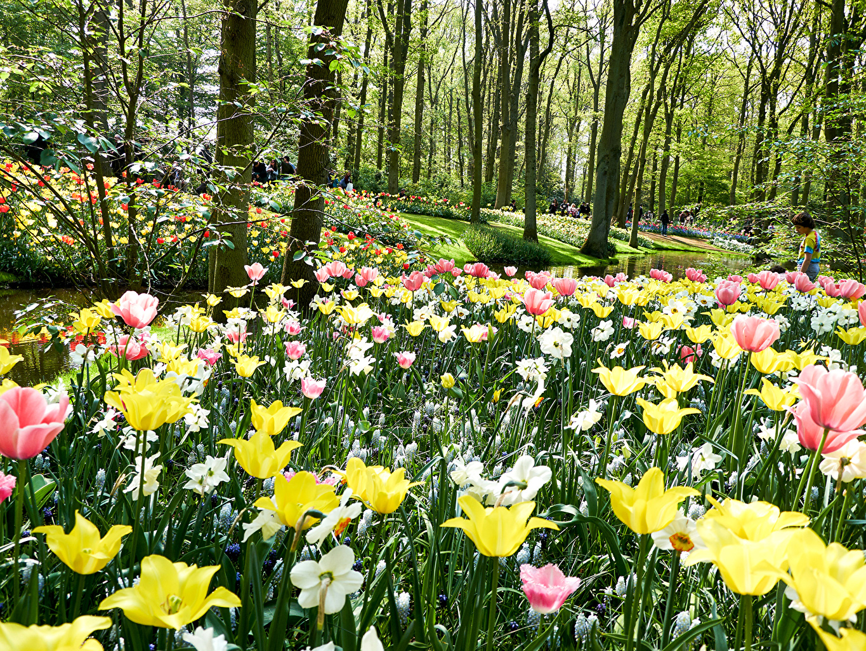Картинка голландия Keukenhof тюльпан Природа Парки Нарциссы дерева Нидерланды Тюльпаны парк дерево Деревья деревьев